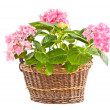 Foto Stock: Hydrangein braided basket.