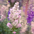 Stock Photo: Larkspur