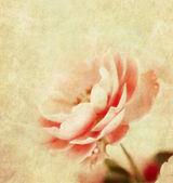 Romantic pink rose — Stock Photo