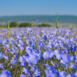 Flax field — Stock Photo