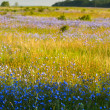 Flax field — Stock Photo #46088433