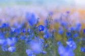 Flax flowers — Stock Photo