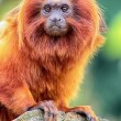 Golden Lion Tamarin perched on log close up view — Stock Photo #12687609