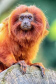 Golden Lion Tamarin perched on log close up view — Stock Photo