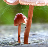 Baby mushroom growing under large mushroom — Stock Photo