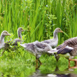 Mother goose leading goslings in the wild — Stock Photo #15705019