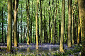 Geheime teich in bluebell woods — Stockfoto