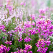 Purple bell erica heather plants - Stock Photo