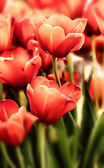 Tulips in pastel colors — Stock Photo