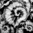 Begonia leaves in black and white — Stock Photo