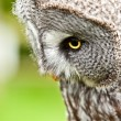 Royalty-Free Stock Photo: Great Gray Owl close up