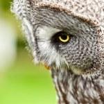 Great Gray Owl close up — Stock Photo