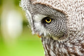 Great Gray Owl close up — Stock Photo