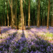 Bluebells in shadows — Stock Photo