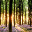 Bluebells in sunrise light — Foto Stock