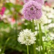 Stock Photo: Allium flowers in garden