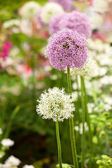 Allium flowers in garden — Stock Photo