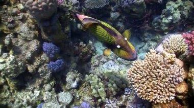 Titan triggerfish on coral reef — Stock Video