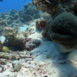 Murena in coral reefs — Stock Video