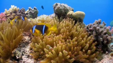 Clown Anemonefish in coral reef — Vidéo