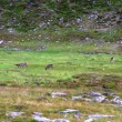 Stock Video: Reindeer graze on tundra