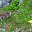 Stock Video: Reindeer graze on mountains, Norway