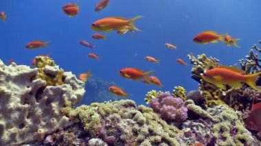 Colorful Fish on Vibrant Coral Reef, static scene, Red sea — Stock Video