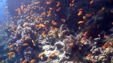 Kleurrijke vissen op levendige koraal rif, rode zee — Stockvideo