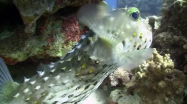 Pufferfish on Coral Reef, Red sea — Стоковое видео
