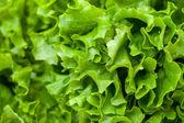 Fresh Salad Lettuce — Stock Photo