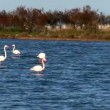 Flock of pink flamingos in lake — Stock Video