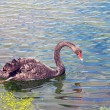 Graceful black swan swimming in a pond — Stock Photo