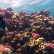 Colorful Fish on Vibrant Coral Reef, Red sea — Stock Video #25858443