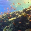 Colorful Fish on Vibrant Coral Reef, Red sea — Stockvideo #25867437