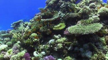 Poissons colorés sur la dynamique de corail, mer rouge — Vidéo