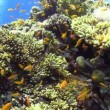 Shoal of Yellow Fish on Coral Reef, Red sea — Stock Video