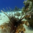 Africlionfish on Coral Reef, Red sea — Stockvideo #26015611