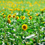 Beautiful yellow sunflowers in the field — Stock Photo #29029965