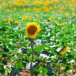 Beautiful yellow sunflowers in the field — Stock Photo #29029975