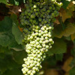 Bunch of green grapes on grapevine in vineyard — Stock Photo