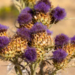 Vibrant milk thistle flowers — Stock Photo