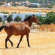 Horse walking through a pasture — Stock Photo