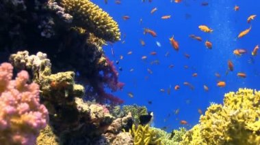 Colorful Fish on Vibrant Coral Reef — Stock Video