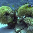 Colorful Fish on Vibrant Coral Reef — Stock Video #31019799