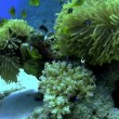 Colorful Fish on Vibrant Coral Reef — Stock Video #31020079