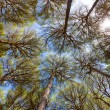 Stock Photo: Wide angle view of pine trees