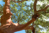 Peeled cork oaks tree — Stock Photo