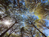 Wide angle view of pine trees — Stock Photo
