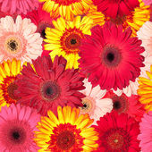 Seamless Pattern from Vibrant Gerbera Flowers — Stock Photo