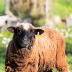 Brown Woolly Sheep — Stock Photo